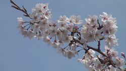 桜002(ストックムービーHD素材)