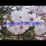 Sakura KYOTO no.0012