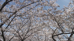 Cherry blossoms 003 (stock movie HD material)