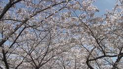 桜003(ストックムービーHD素材)