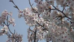 桜001(ストックムービーHD素材)
