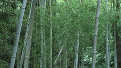 Bamboo 002 (stock movie HD material)