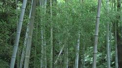竹002(ストックムービーHD素材)