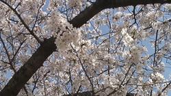 桜011(ストックムービーHD素材)