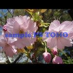 Sakura KYOTO no.0014