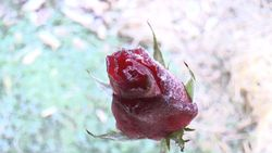 Flowers, roses, and frost-4